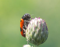 Red beetle on the flower. Big red beetle is hiding on the flower stock image