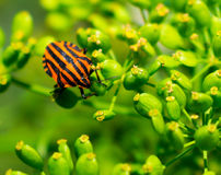 Red beetle on a flower. Red in a black stripe, green background Royalty Free Stock Image