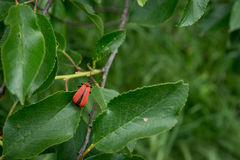A red beetle. A red beetle is in a foliage Stock Photo