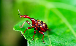 Red beetle Royalty Free Stock Images