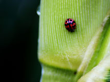 The Red Beetle. On the green leaf Royalty Free Stock Photos