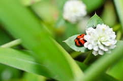 Red beetle or ladybug in green nature Royalty Free Stock Photos