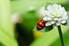 Red beetle or ladybug in green nature Royalty Free Stock Image