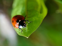 RED beetle. On the leaf Royalty Free Stock Photo