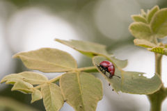 Red beetle. On leaf royalty free stock photography