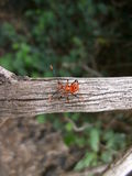 Red beetle with long antennae on tree branch in Swaziland Stock Images