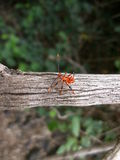 Red beetle with long antennae on tree branch in Swaziland Royalty Free Stock Photography