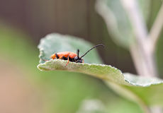 Red beetle macro. A close up Royalty Free Stock Photos