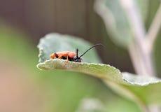 Red beetle macro Royalty Free Stock Photos