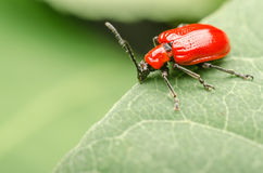 Red Beetle Macro Stock Photography
