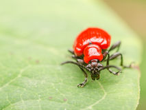 Red Beetle Macro Stock Photo