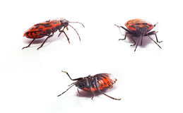Red Beetle Stock Photos