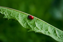 Red beetle. Moving on the green leaves Royalty Free Stock Photography
