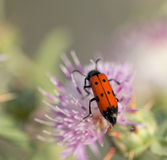 Red beetle in nature. Royalty Free Stock Photography