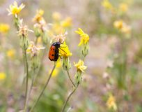 Red beetle on nature. macro. In the park in nature Royalty Free Stock Image