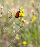 Red beetle on nature. macro. In the park in nature Royalty Free Stock Photo