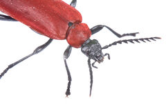 Red beetle Royalty Free Stock Photos