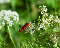 Free Red Beetle On A Flower Royalty Free Stock Photography - 181922037
