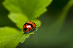 Red Beetle On Green Leaf Stock Image