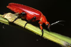 Red Beetle. Perch on a rod in Dark Background Stock Image