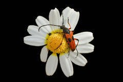 Red beetle perched on a daisy Royalty Free Stock Photo