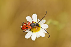 Red beetle perched on a daisy Royalty Free Stock Photos