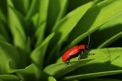 Red beetle on plant leaf stock photo