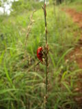 Red beetle on plant in Swaziland Stock Images