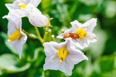 Red beetle in potato flower Stock Images