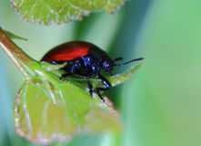Red beetle Stock Image