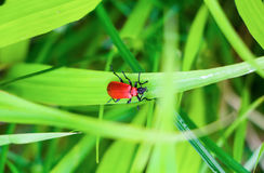 Red Beetle. A shiny red beetle on a light green leaf in nature in spring Royalty Free Stock Image