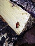 Red beetle. Sits on a wooden stick Royalty Free Stock Photos