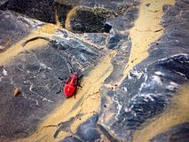 Red beetle. A red beetle sitting on a rock. Spring time bugs, warm day for insects Royalty Free Stock Photos
