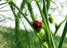 Red beetle on a stalk of dill. Red beetle slowly climbing up the stalk of fennel Stock Images