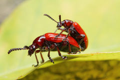 Red Beetle in Southeast Asia. Stock Photo