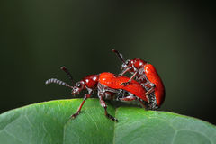 Red Beetle in Southeast Asia. Royalty Free Stock Images