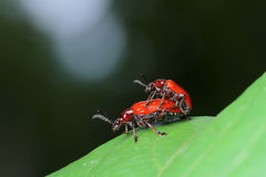Red Beetle in Southeast Asia. Stock Photography