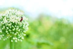 Flower onion plant with pest. Red beetle Trichodes apiarius with black spots in onion flower Stock Photography