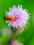 Red beetle on violet flower Royalty Free Stock Photo