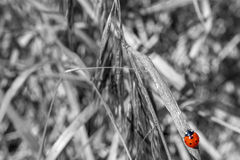Red Beetle Walking On a Branch. Red beetle walking on a B&W branch Royalty Free Stock Photos
