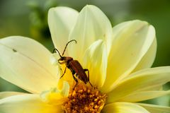 Red beetle on yellow flower. On a green background Royalty Free Stock Photography