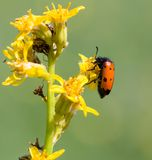 Red beetle on yellow flower. In the park in nature Royalty Free Stock Photos