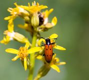 Red beetle on yellow flower. In the park in nature Stock Images