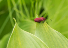 Red beetles. Beetle is before the age of the dinosaurs is in a kind of insect. Then the beetle a length of about 3 ~ 4 meters, as for the beetle this creature Stock Photo