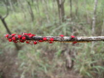 Red beetles with eggs on tree branch in Swaziland Stock Photos