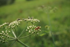 Red beetles. In mating on a plant Stock Image