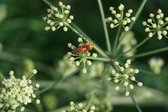 Red beetles. In mating on a plant Royalty Free Stock Images