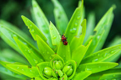 Red beetles mating Royalty Free Stock Photos