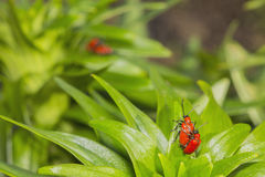 Red beetles reproduce. On a green leaf Stock Photo