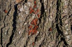 Red beetles sunbathe on the tree bark stock images